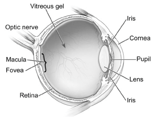 *Image courtesy of the National Eye Institute http://www.nei.nih.gov